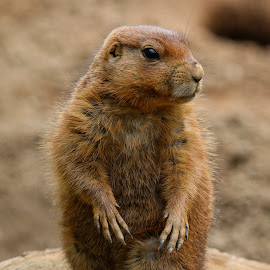 On the Prarie by Brian Homitz - Animals Other Mammals ( farm, prarie, prariedog, funny, prarie dog, brown, rodent, animal,  )