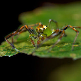 Jumper by Weng Cheong Tham - Animals Insects & Spiders ( spider, jumper )