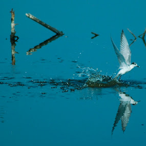 Splashing Gull by Ahmad Irfan - Animals Birds ( bird, nature, animal )