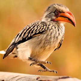 Hornbill by Diane Rogers Jones - Novices Only Wildlife