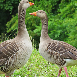 Geese by Simon Alun Hark - Novices Only Wildlife ( grass, tree's, shropshire, geese, goose )