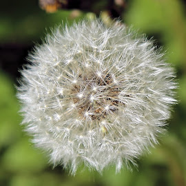 Ready For Summer 8 by Terry Saxby - Nature Up Close Other plants ( canada, dandelion, terry, goderich, ontario, saxby, nancy )
