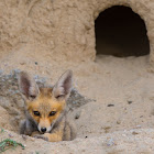 Arabian red fox (baby).