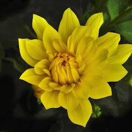 Sunshine Yellow by Patricia Phillips - Flowers Single Flower ( flowers dahlias yellow )