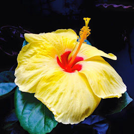 Red heart yellow  hibiscus  by Johnny Torres Shia - Nature Up Close Gardens & Produce