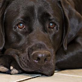 Labrador Retriever by Walter Herrit - Animals - Dogs Portraits ( labrador retriever, black dog, pet, dog portrait, lab., dog, black labrador )