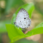 Malayan Pied Blue