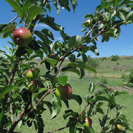 The Happy Apple Tree by SHARON ARMIJO - Nature Up Close Gardens & Produce ( strawberries, trees, orchard, apples, produce )
