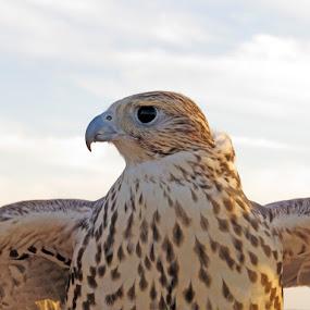 falcon by Yahia  husain - Animals Birds ( bird, eagle, wildlife, falcon, falcons, birds )