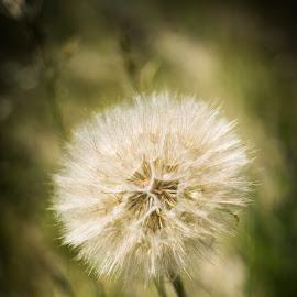 Dandelion by Darrell Portz - Nature Up Close Other plants ( shallow dof, alberta, dandelion, drumheller, close up,  )