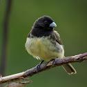 Baiano(Yellow-bellied Seedeater)