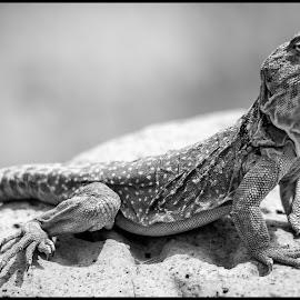 Eastern Collared Lizard by Dave Lipchen - Black & White Animals ( eastern collared lizard )