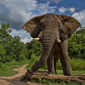 Elephant Bull by Steven McGregor - Animals Other Mammals ( elephant bull )