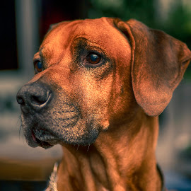 Morris by Katarina Wikberg - Animals - Dogs Portraits ( rhodesian ridgeback, beautiful, male, lionhunter, dog )