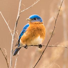 Eastern Blue Bird by Josh-Bojo Bojanowski - Animals Birds