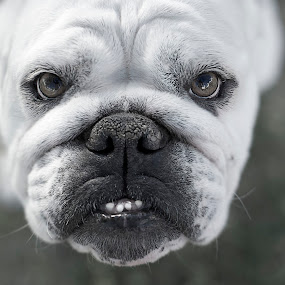 SEXY by Dieter A - Animals - Dogs Portraits ( bulldog, beautiful, teeth, portrait )