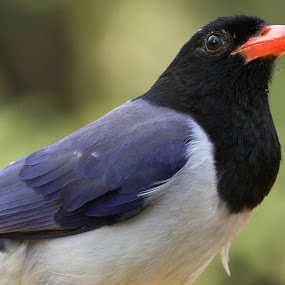 Red-Billed Blue Magpie by Gayatri Pimple - Animals Birds ( green background, bird photography, bird photos, bird, nature up close, nature and wildlife, beauty in nature, birds, birding, nature close up, nature photography, wildlife,  )
