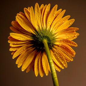 Gerbera .... by Rajeev Krishnan - Flowers Single Flower ( flower up close, flower nature, gerbera daisy, flowers, gerbera, flower photography, flower,  )