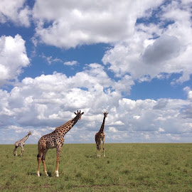 Girrafes on the Serengeti  by Tyrell Heaton - Instagram & Mobile iPhone