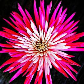 Burst of Pink by Barbara Horner - Digital Art Things ( bold, macro, color, pink, flower, petal )