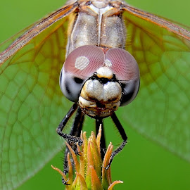 Dragonfly by Sanjeev Kumar - Animals Insects & Spiders ( macro, dragonfly )