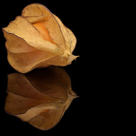 Physalis by Sam Sampson - Food & Drink Fruits & Vegetables ( orange, reflection, fruit, physalis, pod )