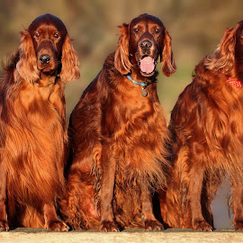 When it rains in Somerset it pours... But soon, the sun shines again. by Ken Jarvis - Animals - Dogs Portraits ( irish setter, dog portrait, irish, dog, cute dog )