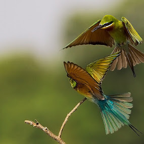 Bee-eaters by Mohan Munivenkatappa - Animals Birds