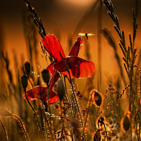 The Sundance by Becky Wheller - Nature Up Close Flowers - 2011-2013 ( macro, sunset, poppy, insect, wild flowers )