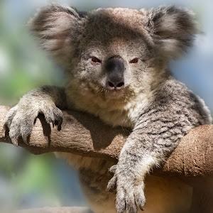 Katie the Koala-.JPG
