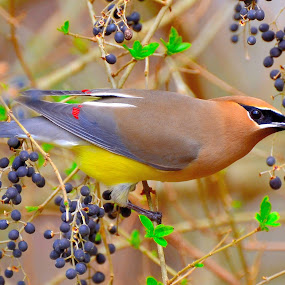 Fancy Feathers by Patricia Warren - Animals Birds ( colorfull bird, bird, winter, nature, berrys, wildlife, cedar waxwing,  )
