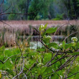 flowering bush with pond in the background by Jason Lockhart - Nature Up Close Trees & Bushes ( wisconsin, green, marsh, flowering bush, waterfowl park, close up, reeds, cambrige )