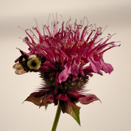 Flower Bees by Melissa Culp - Animals Insects & Spiders ( bees, nature, plants, flowers, springtime )