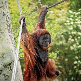 Orangutan by Tony Bendele - Animals Other Mammals ( animals, nature, outdoors, orangutans, wildlife, orangutan, animal )