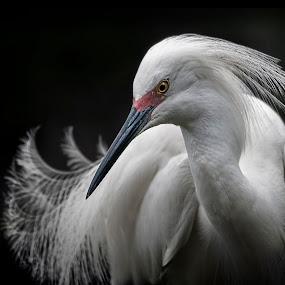 Snowy Egret by Heather Allen - Animals Birds (  )