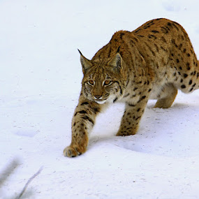 Lynx by Blaz Crepinsek - Animals Lions, Tigers & Big Cats ( , snow, winter, cold )