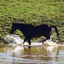 Horse in pond by Jeff Sluder - Animals Horses ( horses )