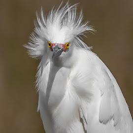 Snowy Egret by Shutter Bay Photography - Animals Birds ( egret, bird of prey, nature, bird photography, bird, snowy egret,  )