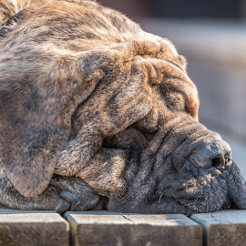 … a Tough Day by Keith Wagner - Animals - Dogs Portraits ( puppies, dogs, leo, mastiff, backyard,  )