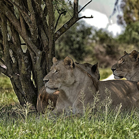Hunting Party by Hannes van Rooyen - Animals Lions, Tigers & Big Cats (  )