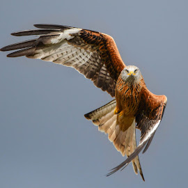 Red Kite by Sharon Davies - Novices Only Wildlife ( bird, flying, flight, bird of prey, wingspan, red kite, feathers )