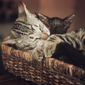 by Brook Kornegay - Animals - Cats Playing (  )