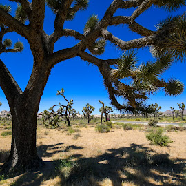 Shelter from the Sun by Ally Skiba - Nature Up Close Trees & Bushes ( cool, desert, california, landscape, sun, national park, california adventure, shelter, tree, nature, blue, nature up close, joshua tree, shade )