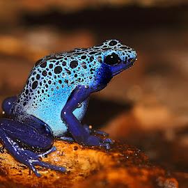 Blue frog by Gérard CHATENET - Animals Amphibians