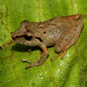 Peruvian Robber Frog