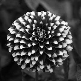 Red and White Dahlia by Janet Marsh - Black & White Flowers & Plants ( more dahlias, red and white,  )