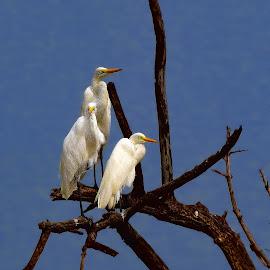 by Stephen Hooton - Animals Birds ( gambia, birds )