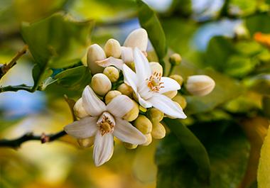 Ya es primavera en Sevilla, ¡ya huele a azahar!