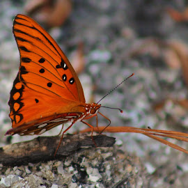 Bright orange butterfly by Terry Linton - Animals Insects & Spiders