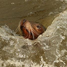 SeaLion by Ralph Harvey - Animals Sea Creatures ( wildlife, ralph harvey, sealion, animal, longleat safari park )